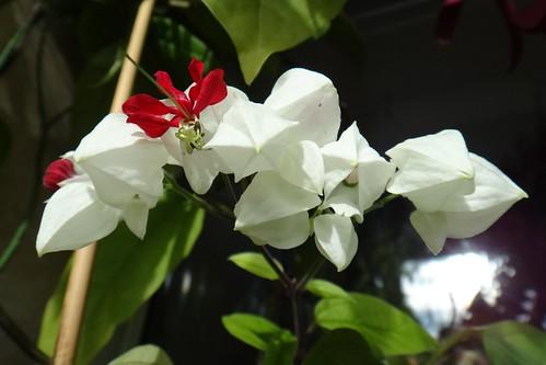 Цветет клеродендрум