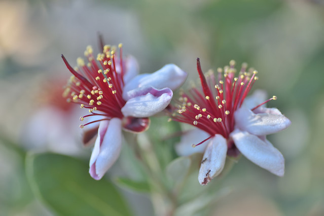 My pineapple guava trees are blooming!