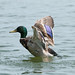 Duck flapping wings  13