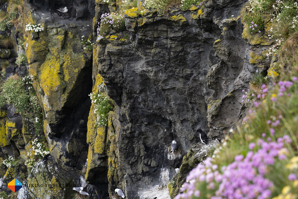 Another bird, Carrick-A-Rede Rope Bridge