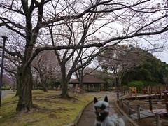 Poochyena in Tatebayashi, Gunma 21 (Tsutsujigaoka Park)