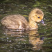 Gosling in bright water