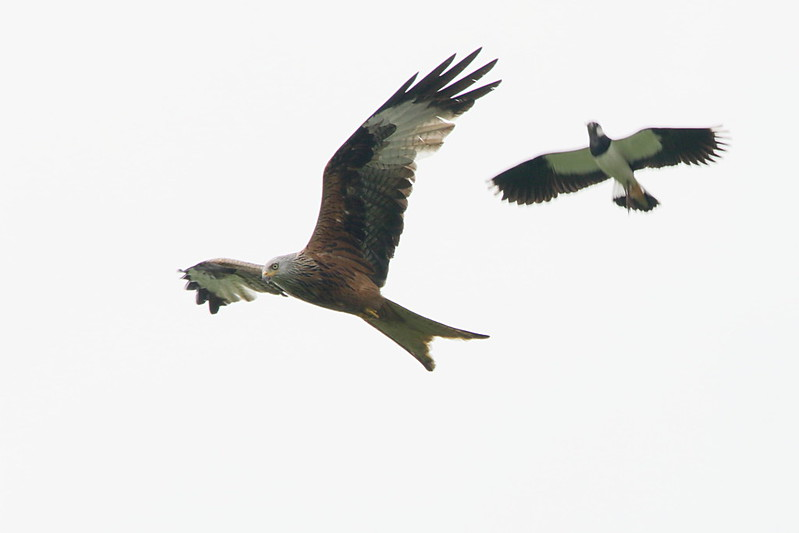 Red Kite being mobbed by Lapwing