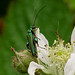 Swollen-thighed Beetle --- Oedemera nobilis