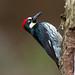 Acorn Woodpecker (X85_9086-1) by Eric SF