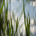 reeds and reens