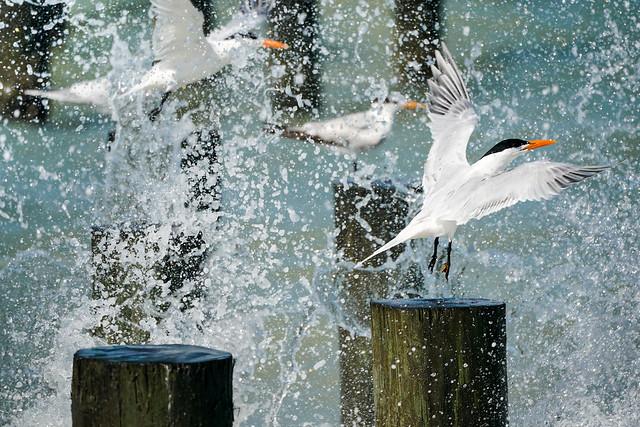 Terns - Naples Florida