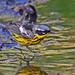 Magnolia Warbler (thanks Geoff) by cwnlsl