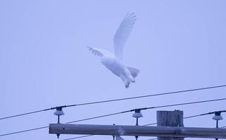 Snowy Owl 23