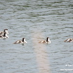 Aves en las lagunas de La Guardia (Toledo). 2-6-2018