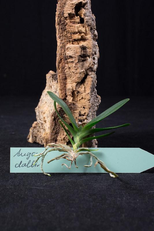 Orchideen-Neuzugang 2 - Seite 3 41831680734_6b65a65f65_c