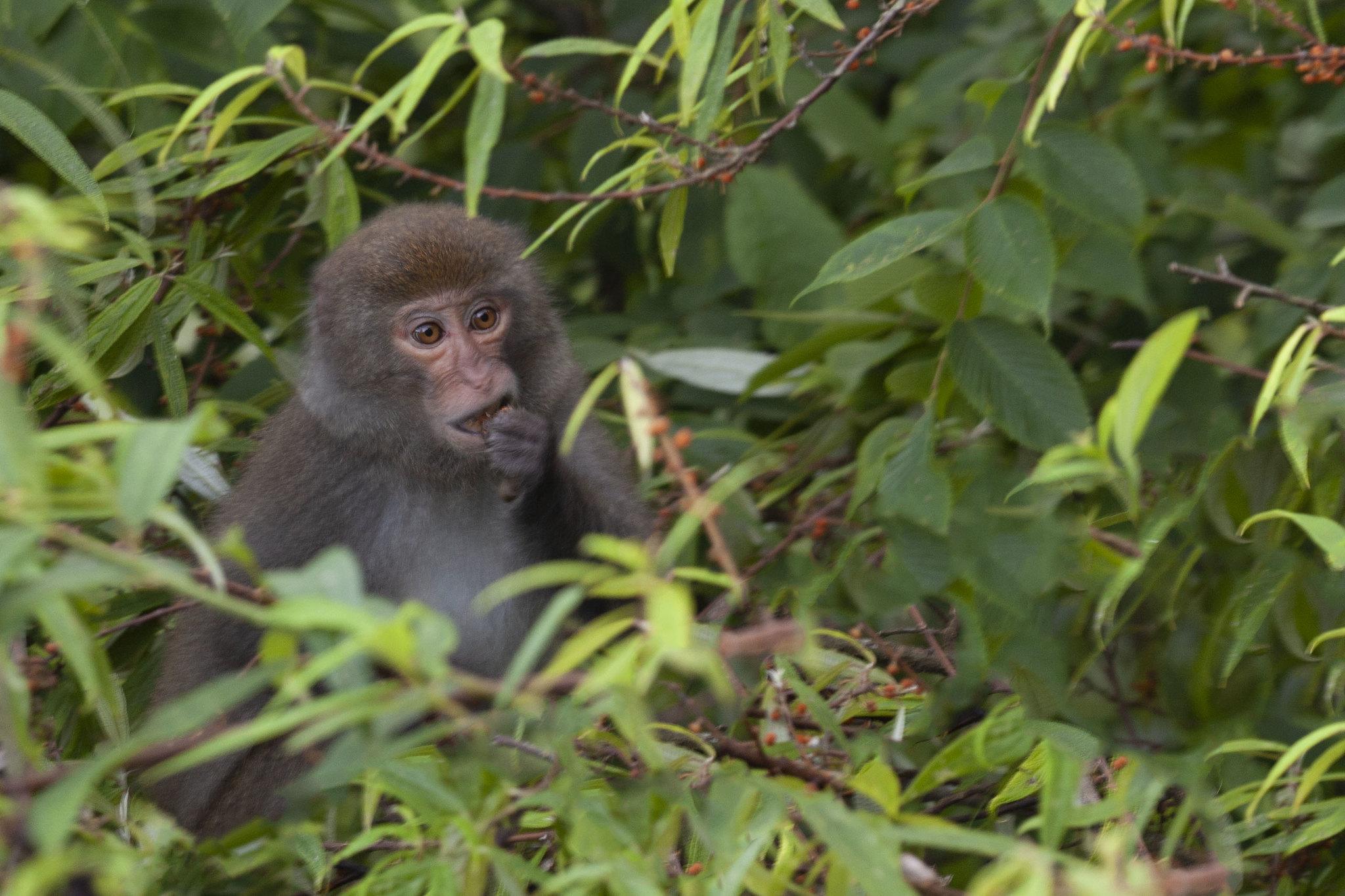 Taiwan Drunk Monkey