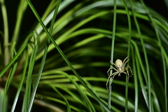 spider on papyrus