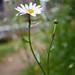 Ox-eye daisy 'Leucanthemum vulgare' and Red ants 'Myrmica rubra' farming aphids