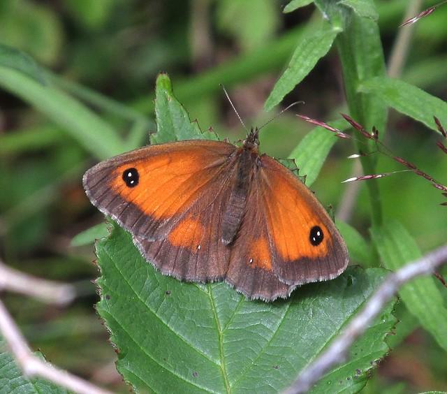 Gatekeeper Butterfly Female 31-07-2017, Canon POWERSHOT SX160 IS