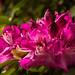 Rhododendron, Westonbirt Arboretum