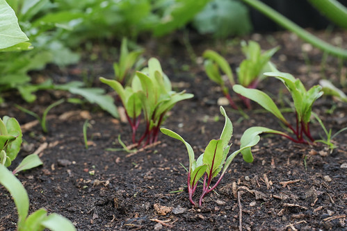 beetroot planting фото