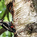 Geater spotted woodpecker and chick 2