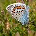 Male Silver-studded Blue Butterfly (Plebejus argus)