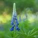 Wild at heart, Maine's flower by jm atkinson