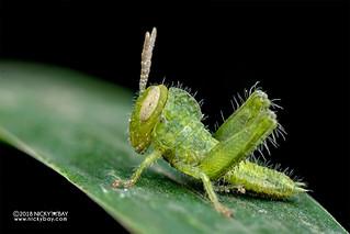 Grasshopper - DSC_2373