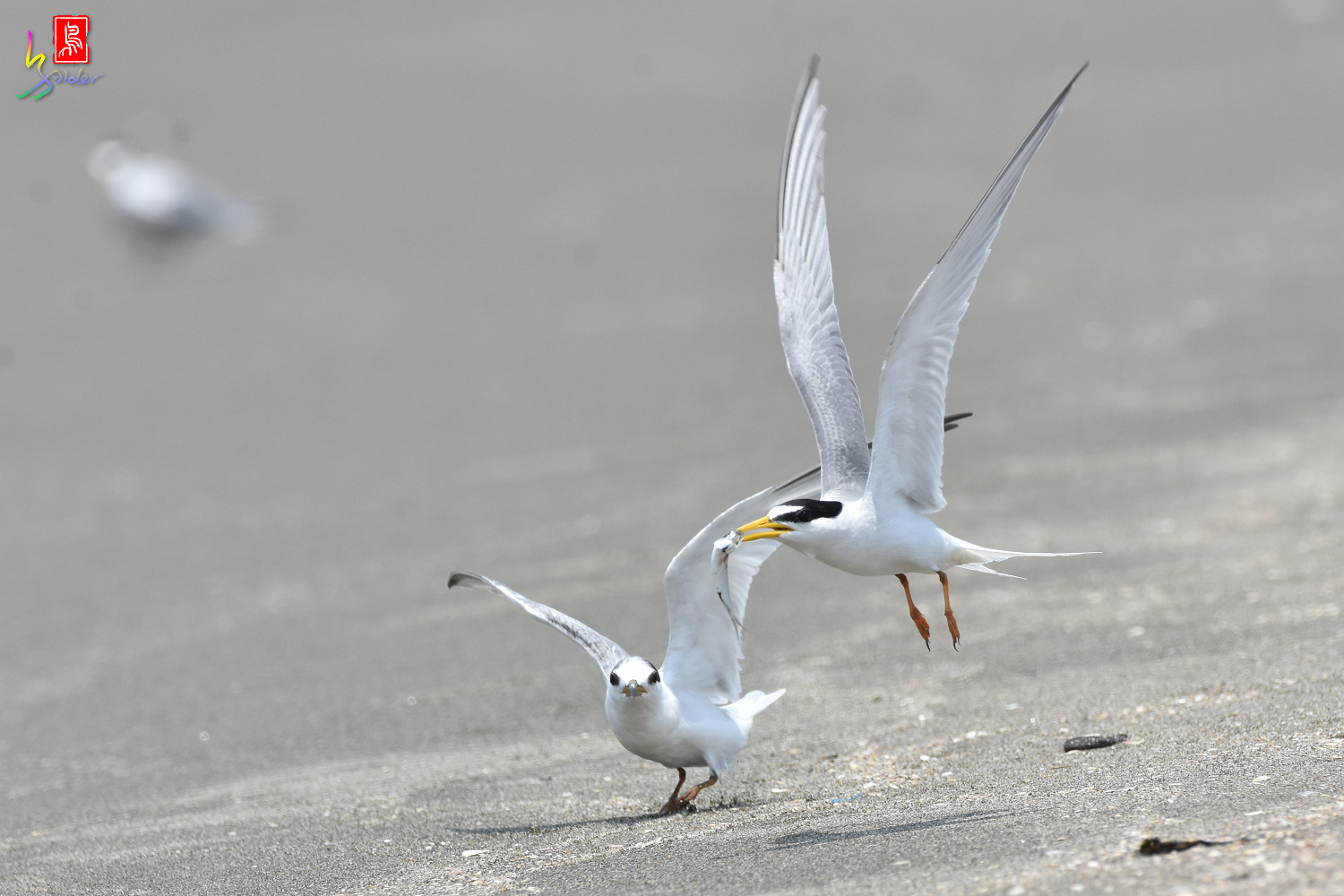 Little_Tern_8832