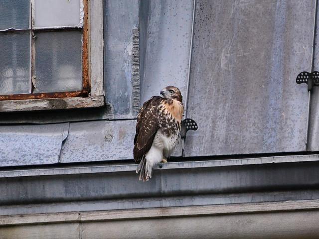 GT Hawk Fledgling 2 - 0996