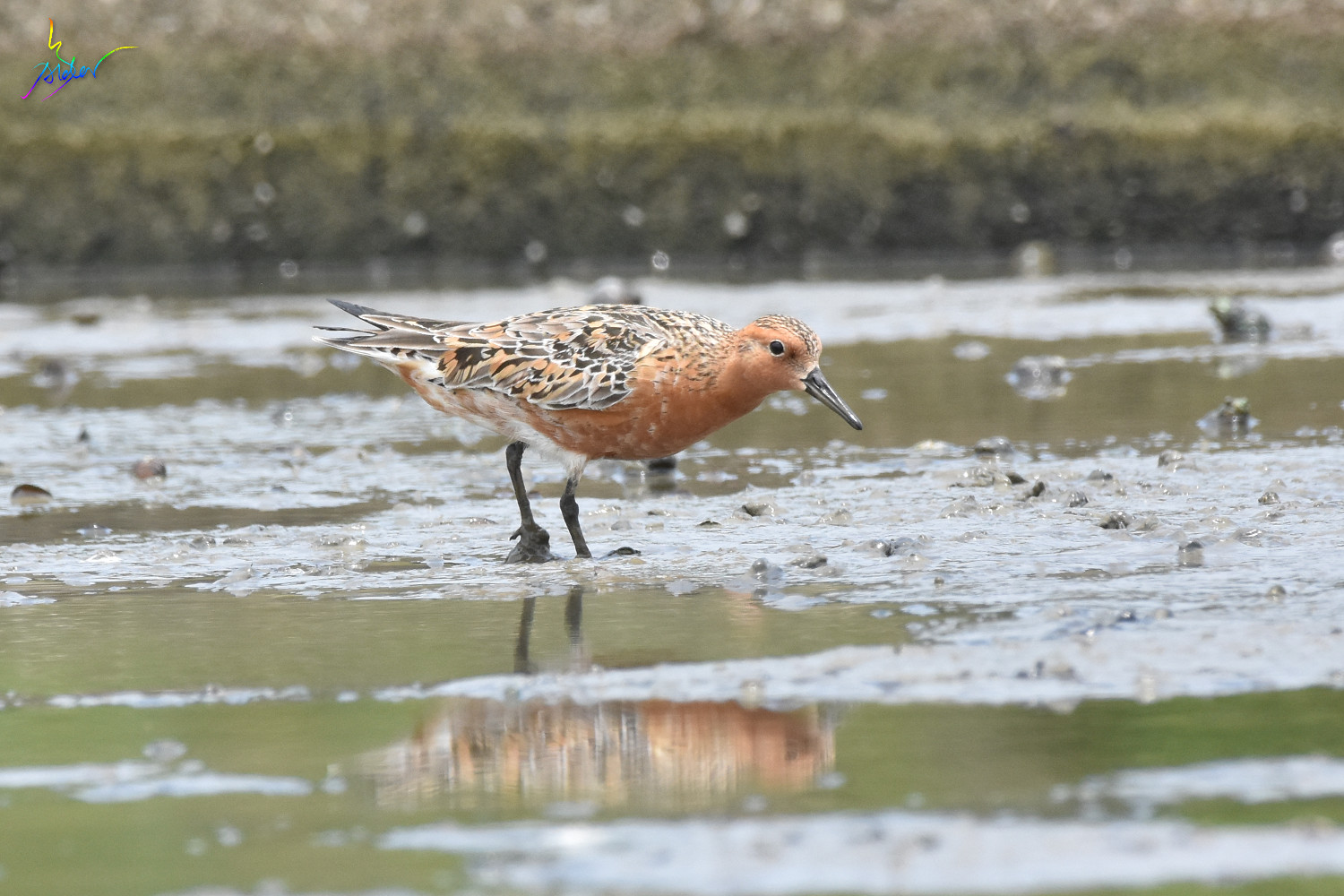 Red_Knot_1079