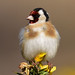 goldfinch 7 2018