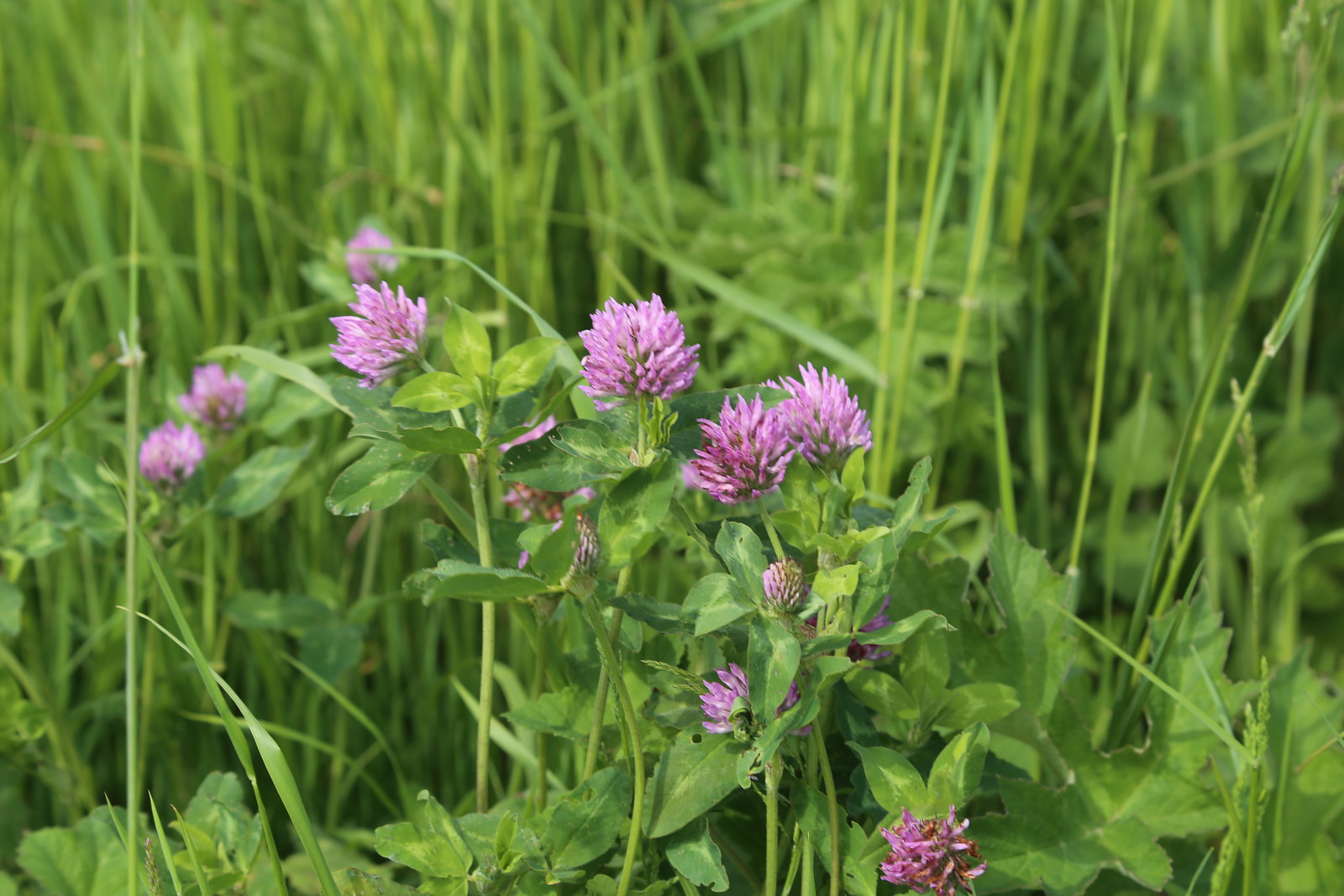 Red Clover - Otford to Eynsford Walk