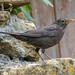 Blackbird (female) - Turdus merula
