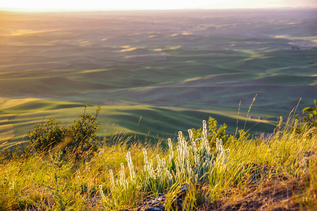 View at Steptoe Butte with fuzzy plant @ sunset