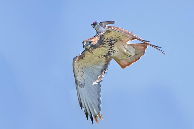 Kingbird Takes a Ride
