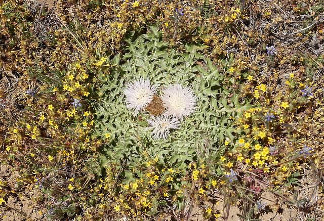 Cirsium scariosum var. americanum (dinnerplate thistle)