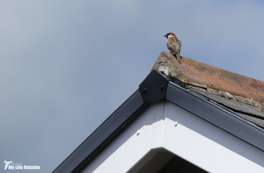 P1150518 - House Sparrow