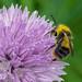 Early Bumblebee - Bombus pratorum (male)