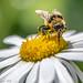 Bee on Flower - Macro (week 22 of 52)