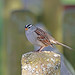 White-crowned Sparrow 18-0422-2699 by digitalmarbles
