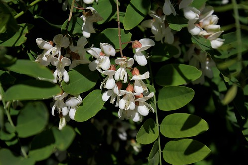 Robinia pseudoacacia - robinier faux acacia  41000718020_8c91592712