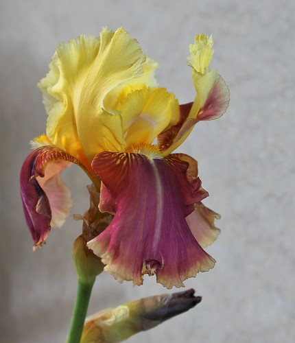 Iris 'Tracy Tyrene' - Richard Ernst 1988 41036937900_df588c59cf