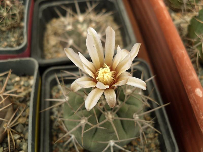 Gymnocalycium castellanosii.