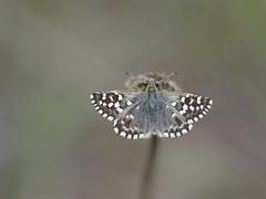 Zuidelijke aardbeivlinder