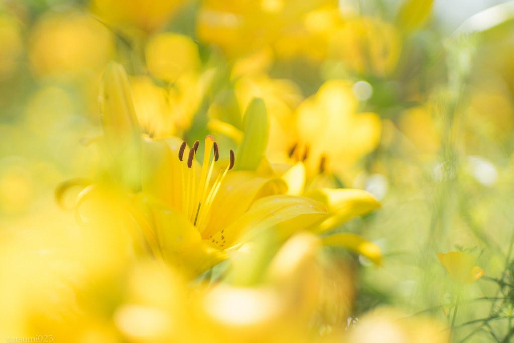 2018-06-02 黄色のユリ 001-2