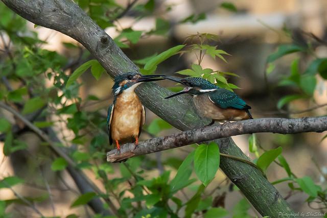 20180602-kingfisher-DSC_3950