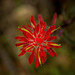 Wildfowers - Indian paintbrush by Margret Maria Cordts