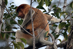 Female Proboscis Monkey (Nasalis larvatus), Tanjung Puting NP, Central Kalimanan (Borneo), Indonesia