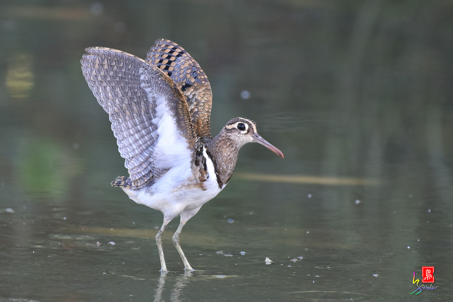 Painted_Snipe_8331