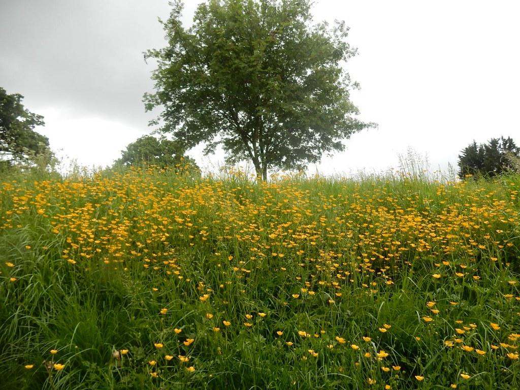 Buttercups Saunderton Circular via West Wycombe