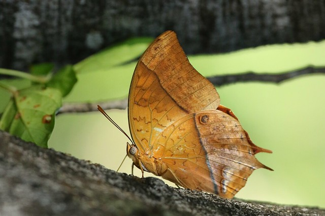 Charaxes varanes, Canon EOS 7D MARK II, Canon EF 200-400mm f/4L IS USM