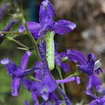 A green caterpillar on a purple larkspur